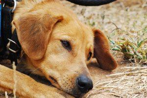 stubenrein-trauriger Hund