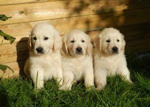 3 kleine Hundewelpen am Zaun