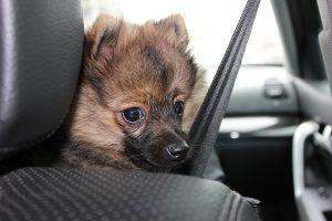 Hund im Auto - Sicherheitsgurt-Test