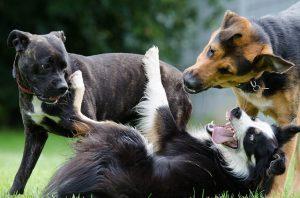 Drei Hunde die aufeinander losgehen