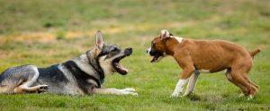 Zwei Hunde fletschen die Zähne