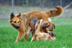 Drei Hunde, zwei kämpfen mit einander