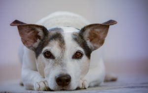 Hund liegt auf den Boden - deine Hundehilfe